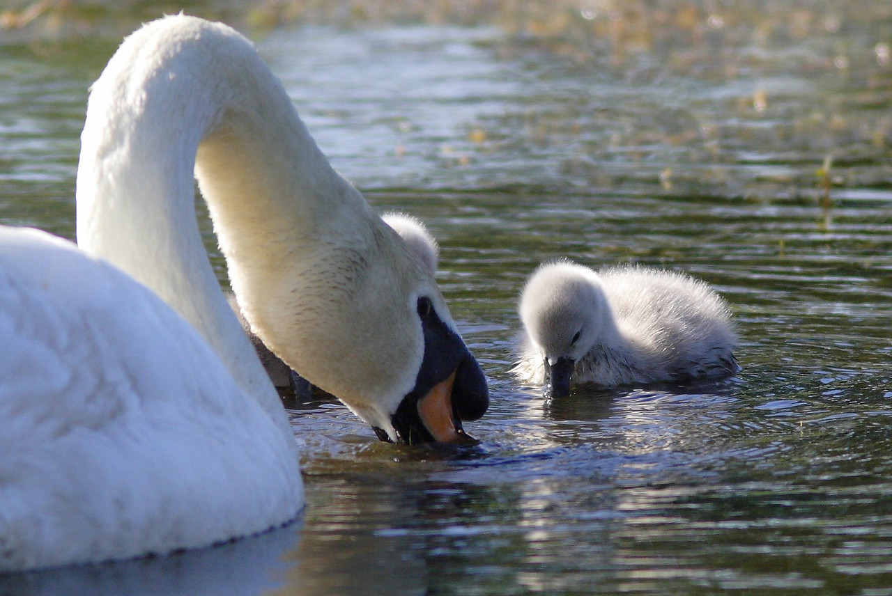 Stick your beak in the water like this, junior