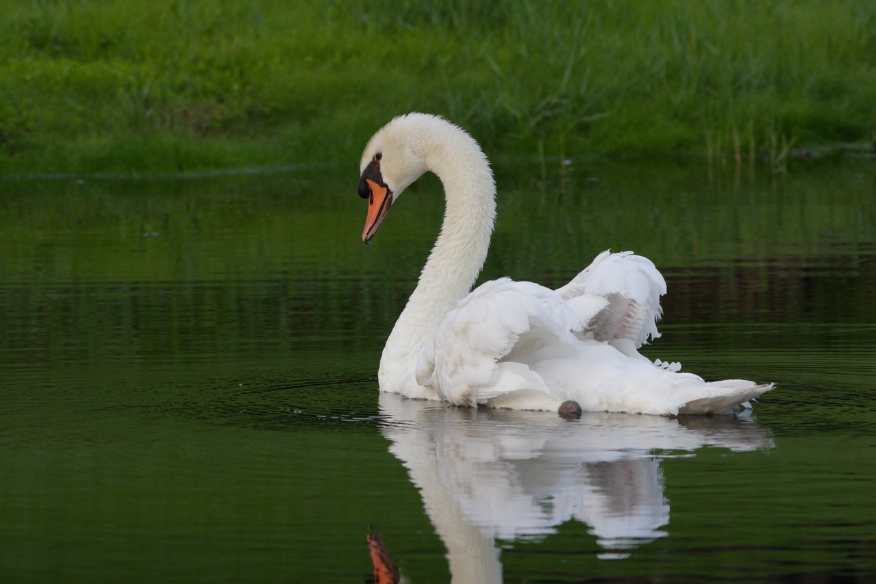 One of my favorite swan photos