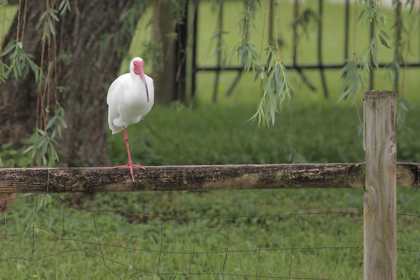 White ibis perched on one leg.